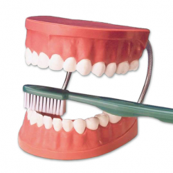 Giant Tooth Brushing Model and Brush - Set